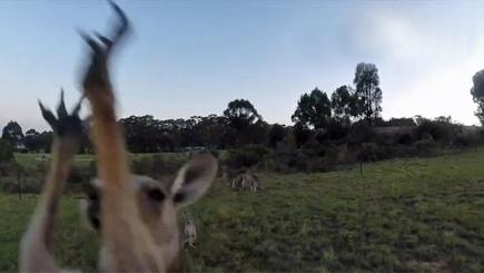 Angry kangaroo springs into action as drone flies too close