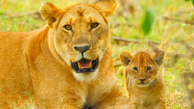 big cat week image collections