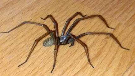 Giant spider the size of a mouse found in Kent