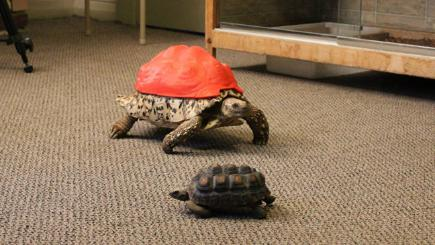 Tortoise wearing 3D printed shell