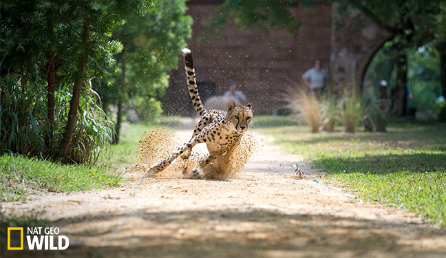 What's new pussycat? 5 things you'll learn from Big Cat Week